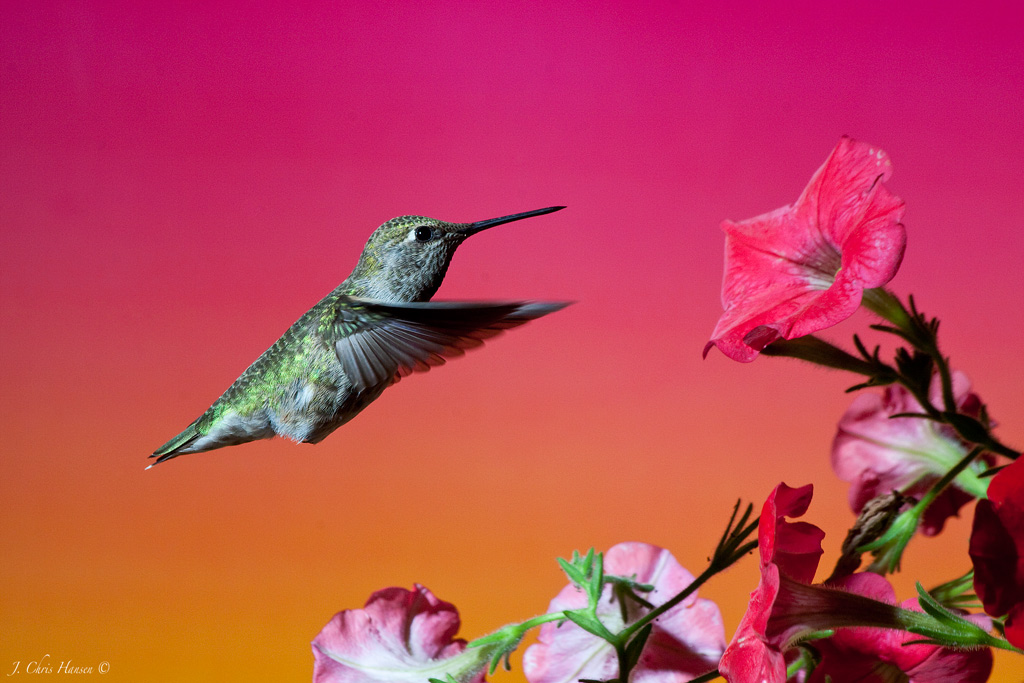 How To: Hummingbird Photography