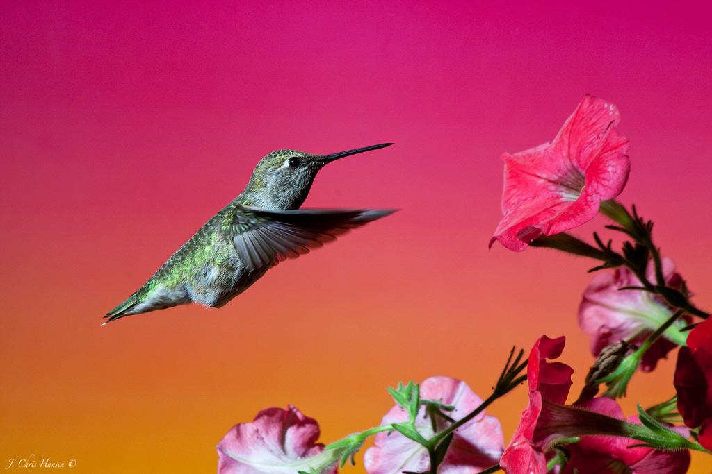 How To: Hummingbird Photography